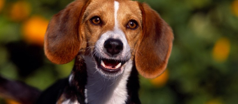 funny-beagle- Photo from PickyWallpapers